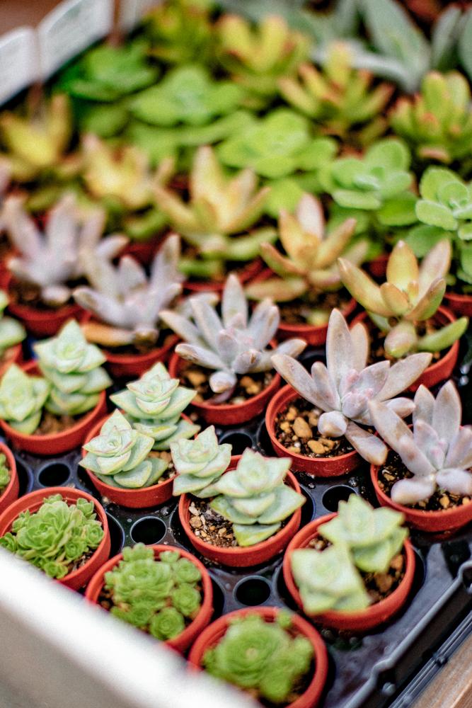 並んだ小さい多肉植物